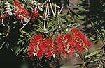 1063-CA Callistemon viminalis, Weeping Bottlebrush