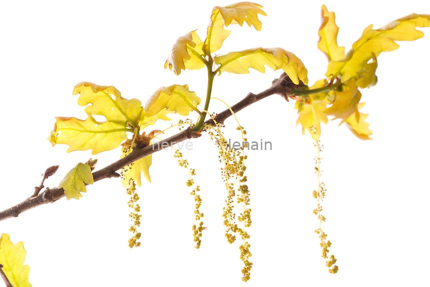 Fleurs de chêne pédonculé (Quercus pedunculata), chatons mâles pendantes et inflorescences femelles erigées // Flowers or catkins of pedunculate oak(Quercus pedunculata = Quercus robur).