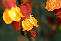 Abutilon visto en el Jardín Botánico, José Celestino Mutis, de la ciudad de Bogotá, Colombia./ Abutilon seen at the Botanic Garden, Jose Celestino Mutis, in Bogota, Colombia. Photo: VizzorImage/ Gabriel Aponte / Staff