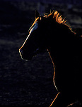 A galloping horse's golden mane and head is outlined by the light from the fading sun.