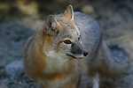 FB-S162  Front photo for 4x6 postcard.  Kit Fox.  Swift Fox