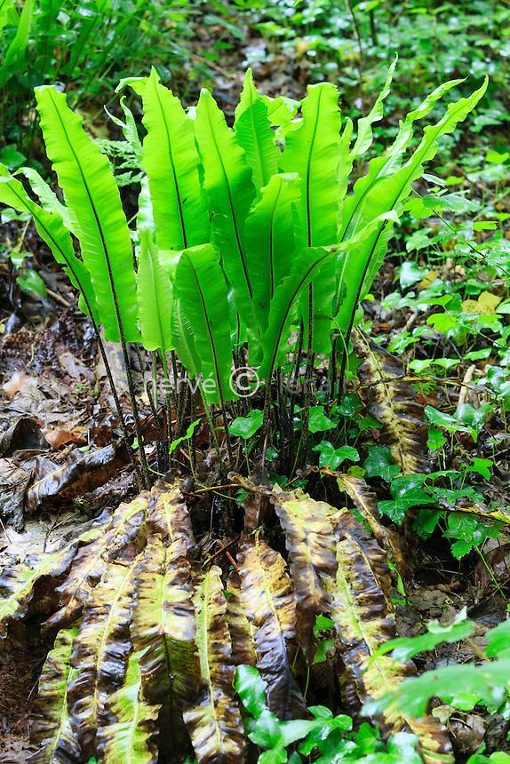 Hart's-tongue fern, Asplenium scolopendrium (France, Normandy, Soumont-Saint-Quentin forest) //  Fougère scolopendre, Asplenium scolopendrium, France, Calvados (14), Soumont-Saint-Quentin, site de la Brèche au Diable