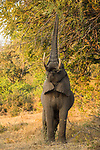 African Elephant (Loxodonta africana) bull browsing, Greater Makalali Private Game Reserve, South Africa