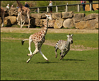 Wacky Races - Young giraffe beats zebra in a spring race.