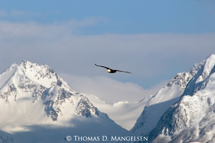 Bald Eagle soaring above the snow-covered Kenai Mountains in Alaska.