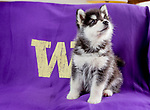 The new University of Washington mascot Dubs II on March 4, 2018. (Photography by Scott Eklund/Red Box Pictures)