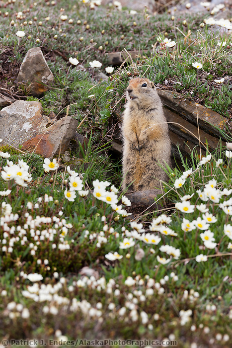Ground squirrel and mountain aven wildflowers, Utukok Uplands, National Petroleum Reserve Alaska, Arctic, Alaska.