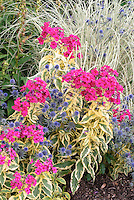 Eryngium planum Blaukappe & Phlox paniculata Goldmine plant combination in vivid neon pink magenta and blue flowers, with Miscanthus sinensis ornamental grass at rear