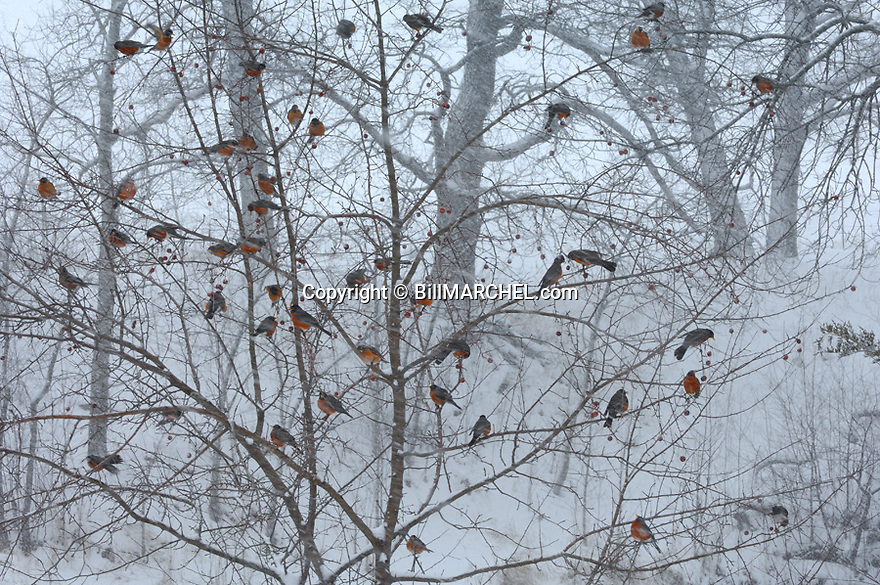 00980-019.07 American Robin flock is feeding on crab apples during a snowstorm.  Survive, cold, winter.  H0E1