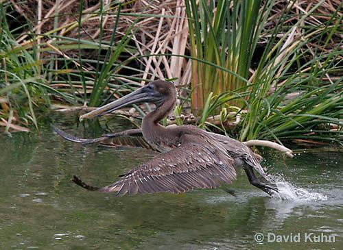 0308-0882  Flying Brown Pelican, Pelecanus occidentalis © David Kuhn/Dwight Kuhn Photography
