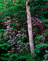 Mountain laurel and chestnut oak on North Mountain George Washington National Forest Virginia