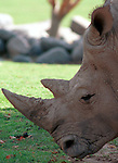 White Rhinoceros, Rhinoceros, rhino, Rhinocerotidae, Rhinoceros, disambiguation, odd toed ungulates, megafauna, herbivorous diet, Fine Art Photography, Ronald T. Bennett (c) Fine Art Photography by Ron Bennett, Fine Art, Fine Art photography, Art Photography, Copyright RonBennettPhotography.com ©