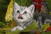 Carl, ANIMALS, photos(SWLA3729,#A#) Katzen, gatos