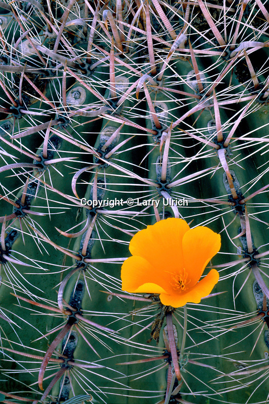 Mexican goldpoppy against barrel cactus<br /> Hewitt Canyon,  Forest Road 172<br /> Tonto National Forest<br /> Sonoran Desert,  Arizona