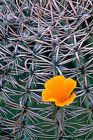 Mexican goldpoppy against barrel cactus<br />