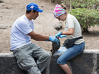 We visited a couple of tortoise breeding centers on the islands and had a chance to watch researchers take blood samples from juvenile tortoises in preparation for their eventual release into the wild.