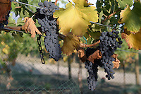 Pinot Noir grapes ripening in the Lake Chelan Valley.