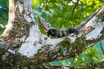 a black spiny tailed iguana in a tree at Manuel Antonio National Park, Costa Rica