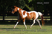 Bob, ANIMALS, REALISTISCHE TIERE, ANIMALES REALISTICOS, horses, photos+++++,GBLA4400,#a#, EVERYDAY