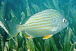 Archosargus rhomboidalis, Sea bream, Florida Keys
