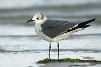 Laughing Gull - Larus atricilla - winter adult