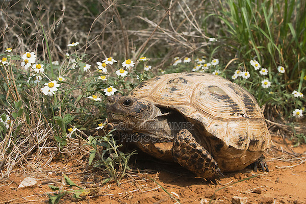 Texas Tortoise (Gopherus berlandieri), adult walking, Rio Grande Valley, Texas, USA