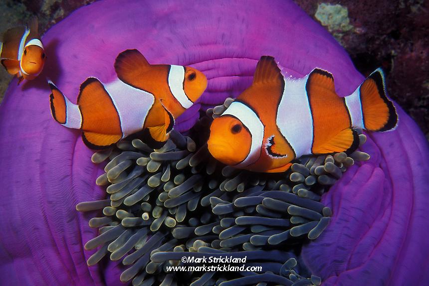 A trio of Western Clown Anemonefish, Amphiprion ocellaris, cavort among the tentacles of their host sea anemone, Heteractis magnifica.  Mergui Archipelago, Myanmar/Burma, Andaman Sea