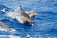 pantropical spotted dolphin, Stenella attenuata, mother and calf, jumping out of boat wake, wake-riding, Kona Coast, Big Island, Hawaii, USA, Pacific Ocean