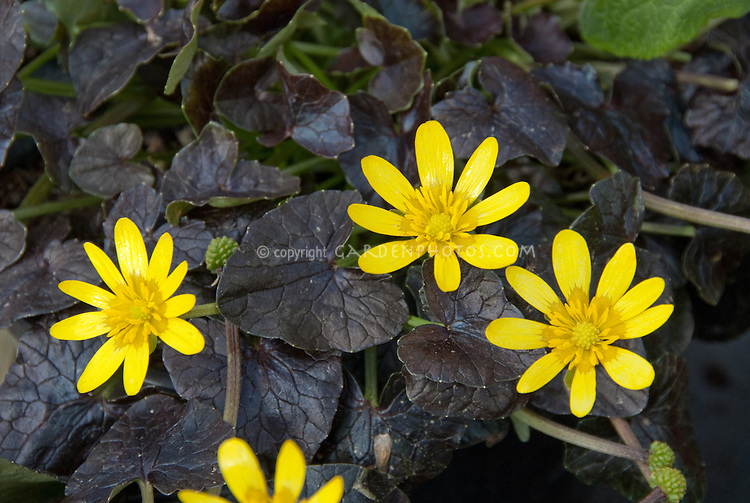 Ranunculus brazen hussy black foliage yellow flowers plant ficaria verna brazen hussy aka ranunculus brazen hussy in spring bloom with yellow flowers mightylinksfo