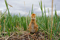 "Newly hatched ""Lesser"" Sandhill Crane (Grus canadensis canadensis) chick on the Russian breeding grounds. This popualtion of Sandhill Cranes migrates to wintering areas in south and west Texas, New Mexico, and central and north Mexico. They concentrate briefly at many stopover areas during spring and fall migration. Many stop for up to 6 weeks in spring in the North Platte and Platte River valleys of Nebraska. Chukotka, Russia. July."
