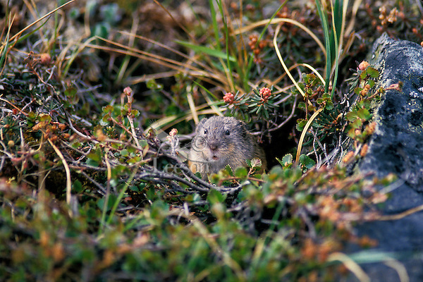 Brown lemming (Lemmus trimucronatus), Canadian Arctic, summer.