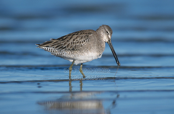 Short-billed Dowitcher,  Limnodromus griseus,adult eating winter plumage, Corpus Christi, Texas, USA