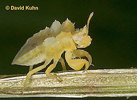 "0829-07oo  Ambush Bug - Phymata spp. ""Nymph in Virginia"" - © David Kuhn/Dwight Kuhn Photography"