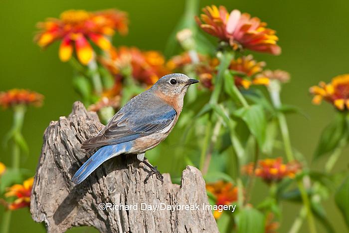 01377-17115 Eastern Bluebird (Sialia sialis)  female on fence post near flower garden, Holmes Co., MS