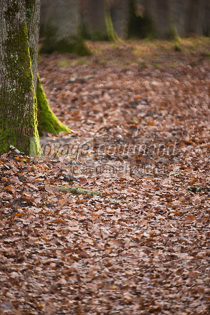 Europe/France/Centre/41/Loir-et-Cher/Sologne/Chambord:Forêt à l'automne du Parc de Chambord - Domaine National de Chambord // Europe/France/Centre/41/Loir-et-Cher/Sologne/Chambord:Forest in the autumn of the Park of Chambord