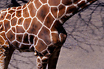 Close-up of giraffe with abstract patterns on skin.