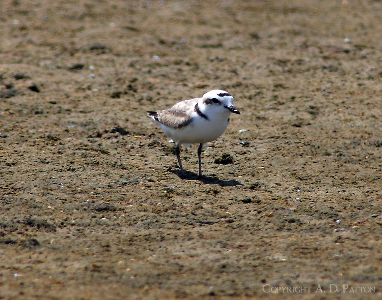 Snowy plover in breeding plumage