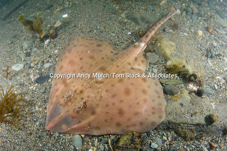 Smooth Skate, Malacoraja senta. Liberated from by-catch. Georges Bank, Rhode Island, North Atlantic Ocean.