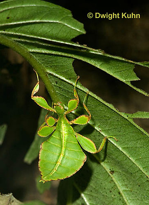 OR14-517z  Leaf Insect female, Phyllium spp., Phillipines