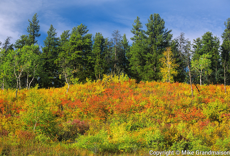 edge of forest in autumn color<br /> near Prince Albert<br /> Saskatchewan<br /> Canada