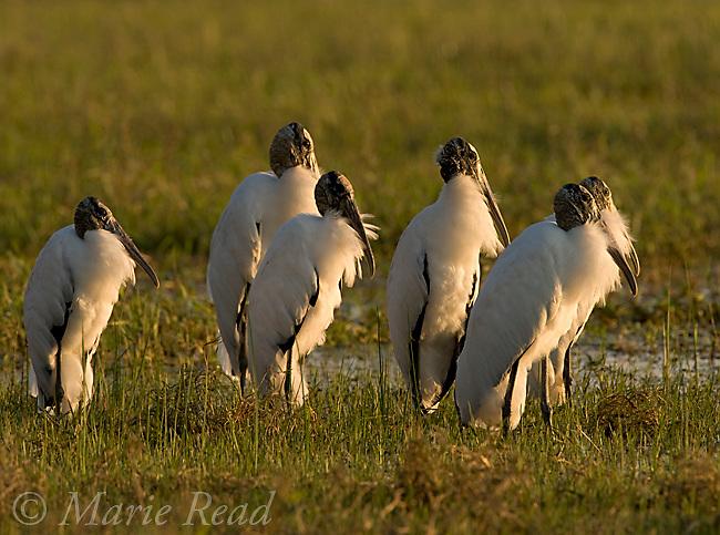 Wood Storks (Mycteria americana), flock of six resting, Lake Cypress, Osceola County, Florida, USA