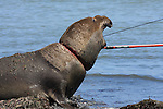 Attempt to remove net from neck of bull elephant seal at Ano Nuevo State Park