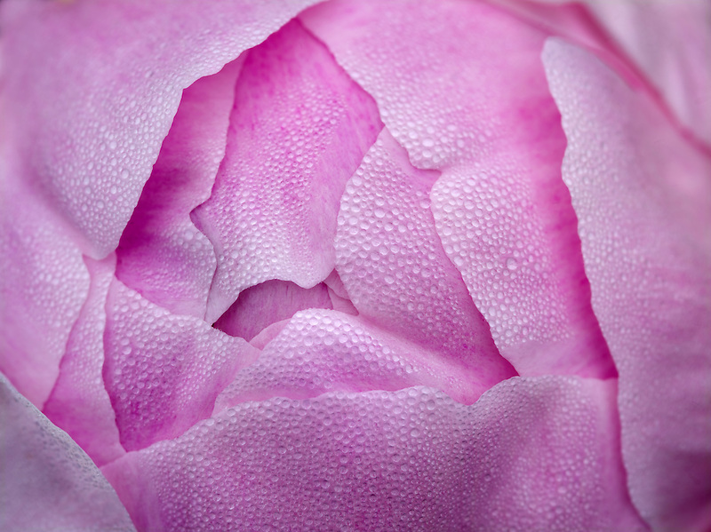 Close up of Peony, Georgiana Shaylor.