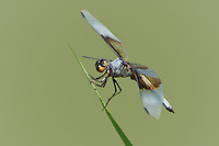 389210011 a wild male widow skimmer libellula luctosa dragonfly wild perches on a reed near el centro imperial county california united states