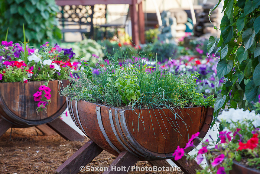 Herb barrels with basil and chives for sensory therapy in Community Garden of Healdsburg Senior Living Center, California