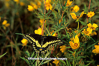 03009-00305 Black Swallowtail (Papilio polyxenes) on Bur Marigold (Bidens aristosa), Marion Co.   IL