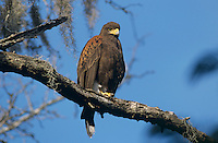 Harris's Hawk, Parabuteo unicinctus, adult, Santa Ana National Wildlife Refuge, Texas, USA, Dezember 2003