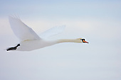 Mute swan making an evening winter flight to its roosting site.