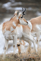 Pronghorn (Antilocapra americana), North America