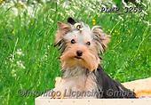Marek, ANIMALS, REALISTISCHE TIERE, ANIMALES REALISTICOS, dogs, photos+++++,PLMP3255,#a#, EVERYDAY